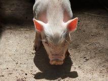 Leitão cor-de-rosa novo Fotos de Stock Royalty Free