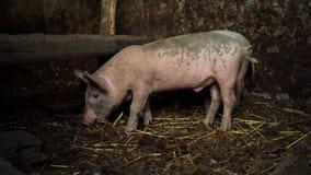 Leitão cor-de-rosa pequenos em uma exploração agrícola Dois porcos engraçados no chiqueiro filme