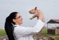 Leitão de levantamento veterinário no ar Imagens de Stock Royalty Free