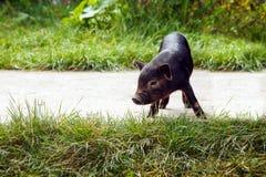 Leitão do porco pouca grama feliz vietnamiana bonito de vime uma do ano novo da raça do fundo branco preto da cesta imagem de stock royalty free