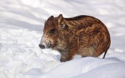 Leitão do Wild-boar Imagem de Stock