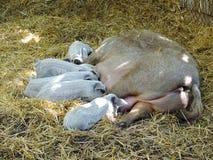 Leitão dos cuidados do porco na palha no celeiro Foto de Stock Royalty Free