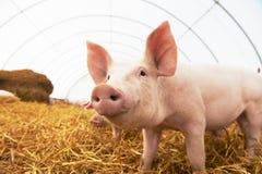 Leitão novo na exploração agrícola da criação de animais do porco fotografia de stock