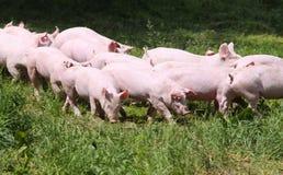 Leitão novos pequenos no prado verde Imagem de Stock