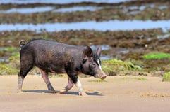 Leitão pequeno na praia do oceano fotografia de stock royalty free