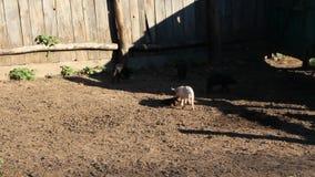 Leitão que jogam e corrida alegre na jarda de exploração agrícola vídeos de arquivo