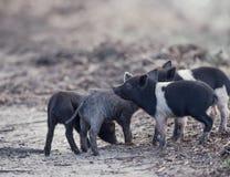 Leitão selvagens nos pantanais Fotos de Stock Royalty Free