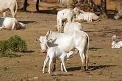 Leite bebendo da vaca nova Imagens de Stock