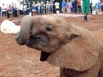 Leite bebendo do elefante pequeno no abrigo Fotografia de Stock Royalty Free