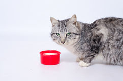 Leite bebendo do grande gato cinzento foto de stock