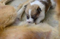 Leite bebendo dos cachorrinhos recém-nascidos. Imagens de Stock