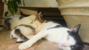 Leite bebendo dos gatos do bebê de sua mãe Um momento bonito filme