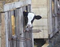 Leite bovino da agricultura da exploração agrícola da vaca Fotografia de Stock Royalty Free