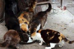 Leite da bebida dos gatos Imagem de Stock