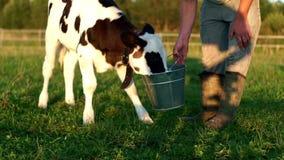 Leite de vacas bebendo da vitela da cubeta Vitela de alimentação do fazendeiro com leite da cubeta vídeos de arquivo