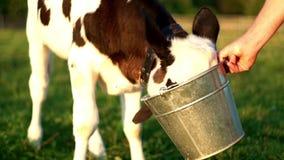 Leite de vacas bebendo da vitela da cubeta Vitela nova na exploração agrícola de leiteria vídeos de arquivo