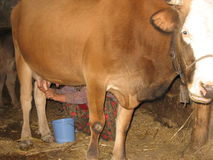 Leite do fazendeiro da mulher adulta uma vaca Fotografia de Stock