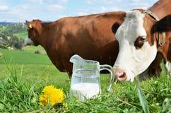Leite e vacas Fotografia de Stock