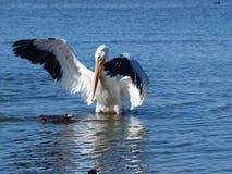 Leiter Pellicano Waterfowlis am Podium Stockfoto