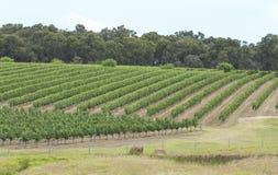 Leitlinien von üppigen grünen Weinbergen auf einer Steigung Lizenzfreie Stockfotografie