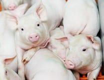 Leitão novo na exploração agrícola de porco Imagem de Stock