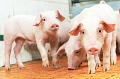 Leitão novo na exploração agrícola de porco Foto de Stock Royalty Free