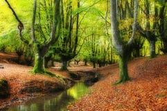 Leje się przez drzew w pięknym bukowym lesie w jesieni Fotografia Stock