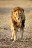 Lejon Arkivbilder