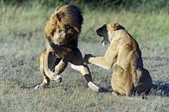 Lejon royaltyfria bilder