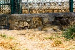 Lejon asiat Arkivbild