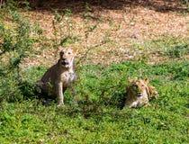 Lejon asiat Royaltyfri Fotografi