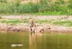 Lejon asiat Arkivfoto