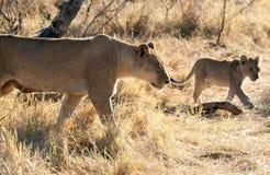 Lejon Botswana Arkivbild