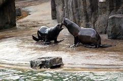 Lejon för ‹för †för havs, vänliga djur på den Prague zoo Arkivfoto