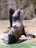 Lejon för ‹för †för havs, vänliga djur på den Prague zoo Fotografering för Bildbyråer