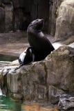Lejon för ‹för †för havs, vänliga djur på den Prague zoo Arkivbild