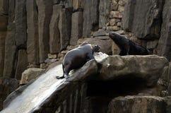 Lejon för ‹för †för havs, vänliga djur på den Prague zoo Arkivbilder