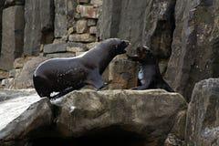 Lejon för ‹för †för havs, vänliga djur på den Prague zoo Arkivfoton