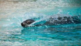lejon för ‹för †för havspå zoo i sommarslut upp i vattenbränningen på vågen fotografering för bildbyråer