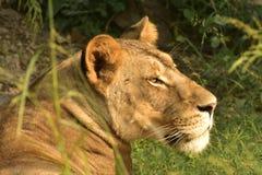 Lejon för solbadning royaltyfria bilder