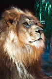 Lejon från sida på att stirra av in i avstånd arkivbilder