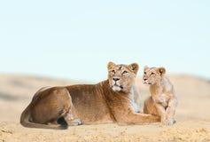 Lejon i öken Arkivfoton