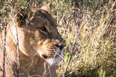Lejon i ön för kock` s Arkivfoto