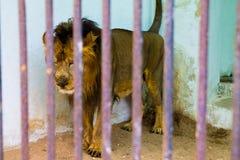 lejon i bur bak stänger på zoo Arkivbilder