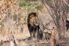 Lejon i busksnår Fotografering för Bildbyråer
