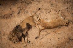 Lejon i den Lissabon zoo Arkivfoton