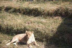 Lejon i djurliv royaltyfri fotografi