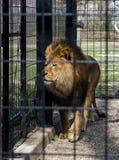Lejon i en bur royaltyfria bilder