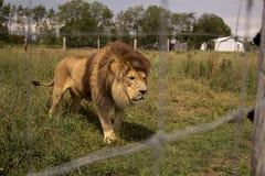 Lejon i ett fält Arkivbild