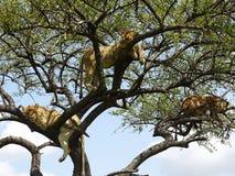 3 lejon i ett träd Arkivfoto